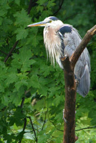 williams_heron
