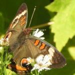 common-buckeye-at-pi-15-sep-2016-4